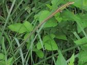 翠斑草蜥 Takydromus viridipunctatus Lue & Lin:竹子湖翠斑草蜥(雄.正蜥科草蜥屬).20140819-3.JPG