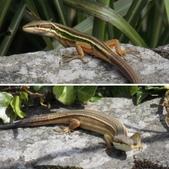 翠斑草蜥 Takydromus viridipunctatus Lue & Lin:相簿封面