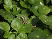 翠斑草蜥 Takydromus viridipunctatus Lue & Lin:二子坪翠斑草蜥(正蜥科草蜥屬).20160406-2.JPG