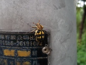 黃肩長腳花金龜:中興路黃肩長腳花金龜.20120602.jpg