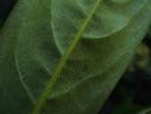蘭嶼海桐:人車分道蘭嶼海桐(海桐科海桐屬)葉背.20140120.JPG