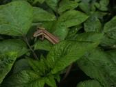 翠斑草蜥 Takydromus viridipunctatus Lue & Lin:中興路翠斑草蜥.20150424.JPG