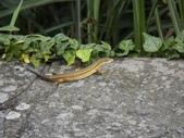 翠斑草蜥 Takydromus viridipunctatus Lue & Lin:大屯山翠斑草蜥(雌.正蜥科草蜥屬).20160513.JPG