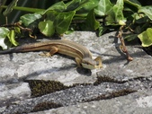 翠斑草蜥 Takydromus viridipunctatus Lue & Lin:大屯山翠斑草蜥(雌.正蜥科草蜥屬).20160513-7.JPG