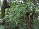 長花厚殼樹:中興路長花厚殼樹(紫草科厚殼樹屬).20140726-7.JPG
