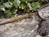 翠斑草蜥 Takydromus viridipunctatus Lue & Lin:大屯山翠斑草蜥(雄.正蜥科草蜥屬).20160513-10.JPG