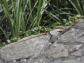 翠斑草蜥 Takydromus viridipunctatus Lue & Lin:大屯山翠斑草蜥(左雄右雌正蜥科草蜥屬).20160513-11.JPG