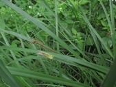 翠斑草蜥 Takydromus viridipunctatus Lue & Lin:竹子湖翠斑草蜥(正蜥科草蜥屬)幼體.20140819.JPG