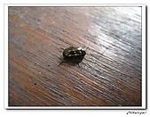 士林內湖-大崙頭山(20090607):IMG_8830.jpg