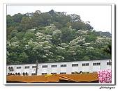 芎林鄉鹿寮坑油桐花步道(20090503):IMG_6560.jpg