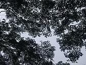 20090803秘境之南後慈湖:槭樹