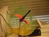 20090803秘境之南後慈湖:蜻蜓