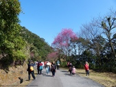 2015.01.24二格道路櫻花~山櫻:2015.01.24二格道路櫻花