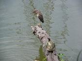 汐止-金龍湖~~~ 生態觀察:IMGP0087.JPG
