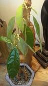 榴蓮種子盆栽:8.22.JPG