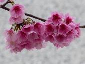 東湖樂活公園櫻花~寒櫻:東湖-樂活公園櫻花14-20150129.JPG