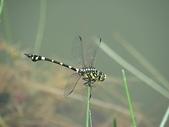 夢湖隨意拍~~~~~蜻蜓:粗鉤春蜓(雄).JPG