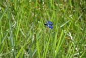夢湖隨意拍~~~~~蜻蜓:我是嬌小的三角蜻蜓
