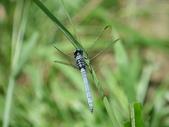 夢湖隨意拍~~~~~蜻蜓:金黃蜻蜓