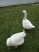 大白鵝:DSC09774.JPG