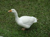 大白鵝:DSC09780.JPG