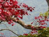 賞楓:2011.12.25馬拉邦山賞楓IMGP3373.JPG