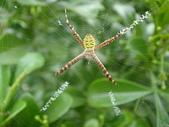 蜘蛛~~長圓金蛛:DSC00082.JPG
