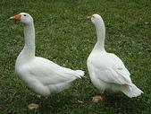 大白鵝:DSC09778.JPG