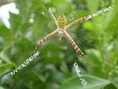 蜘蛛~~長圓金蛛:DSC00088.JPG