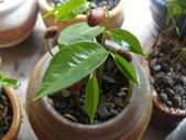 種子盆栽:山刺番荔枝(羅李亮果)種子盆栽 DSC00314.JPG