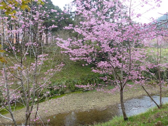 P1400449.JPG - 杉林溪櫻花河谷