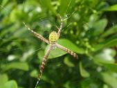蜘蛛~~長圓金蛛:DSC00052.JPG