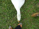 大白鵝:DSC09773.JPG