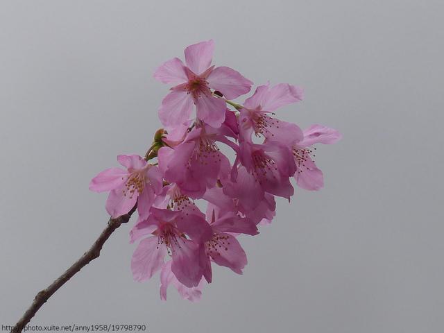 P1400281.JPG - 杉林溪櫻花河谷