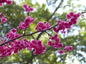 陳水珍橘園採橘樂活趣~八重櫻:北投賞櫻6-20150212.JPG