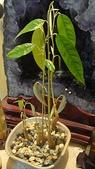 榴蓮種子盆栽:8.22-2.JPG