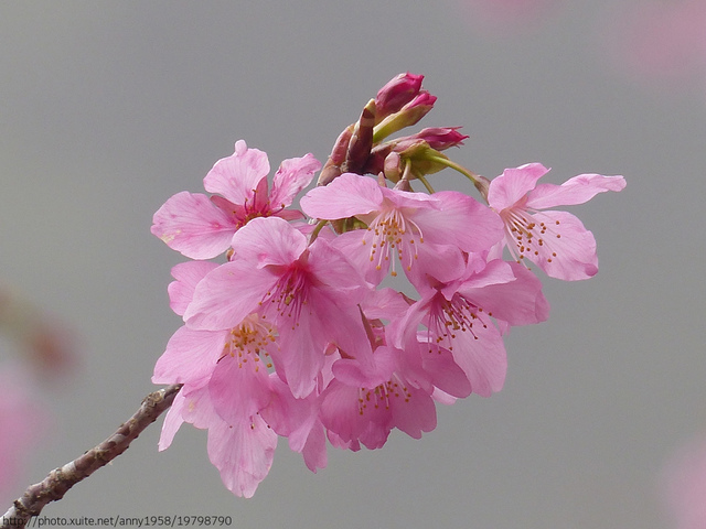 P1400284.JPG - 杉林溪櫻花河谷