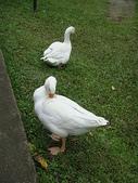 大白鵝:DSC09791.JPG