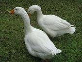 大白鵝:DSC09781.JPG