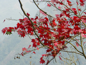 賞楓:2011.12.25馬拉邦山賞楓IMGP3372.JPG