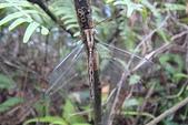 夢湖隨意拍~~~~~蜻蜓:罕見長角蛉