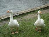 大白鵝:DSC09769.JPG