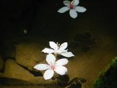 植物:油桐花IMGP7605.JPG