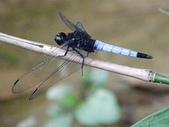 夢湖隨意拍~~~~~蜻蜓:黃紉蜻蜓