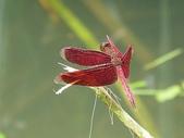 夢湖隨意拍~~~~~蜻蜓:我是善變蜻蜓