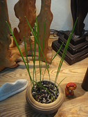 中東海棗種子盆栽:DSC00162.JPG