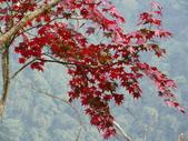 賞楓:2011.12.25馬拉邦山賞楓IMGP3377.JPG