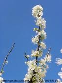 植物:李花IMGP4014.JPG