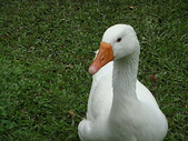 大白鵝:DSC09782.JPG