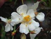 太魯閣國家公園-:DSC04579山薔薇.JPG